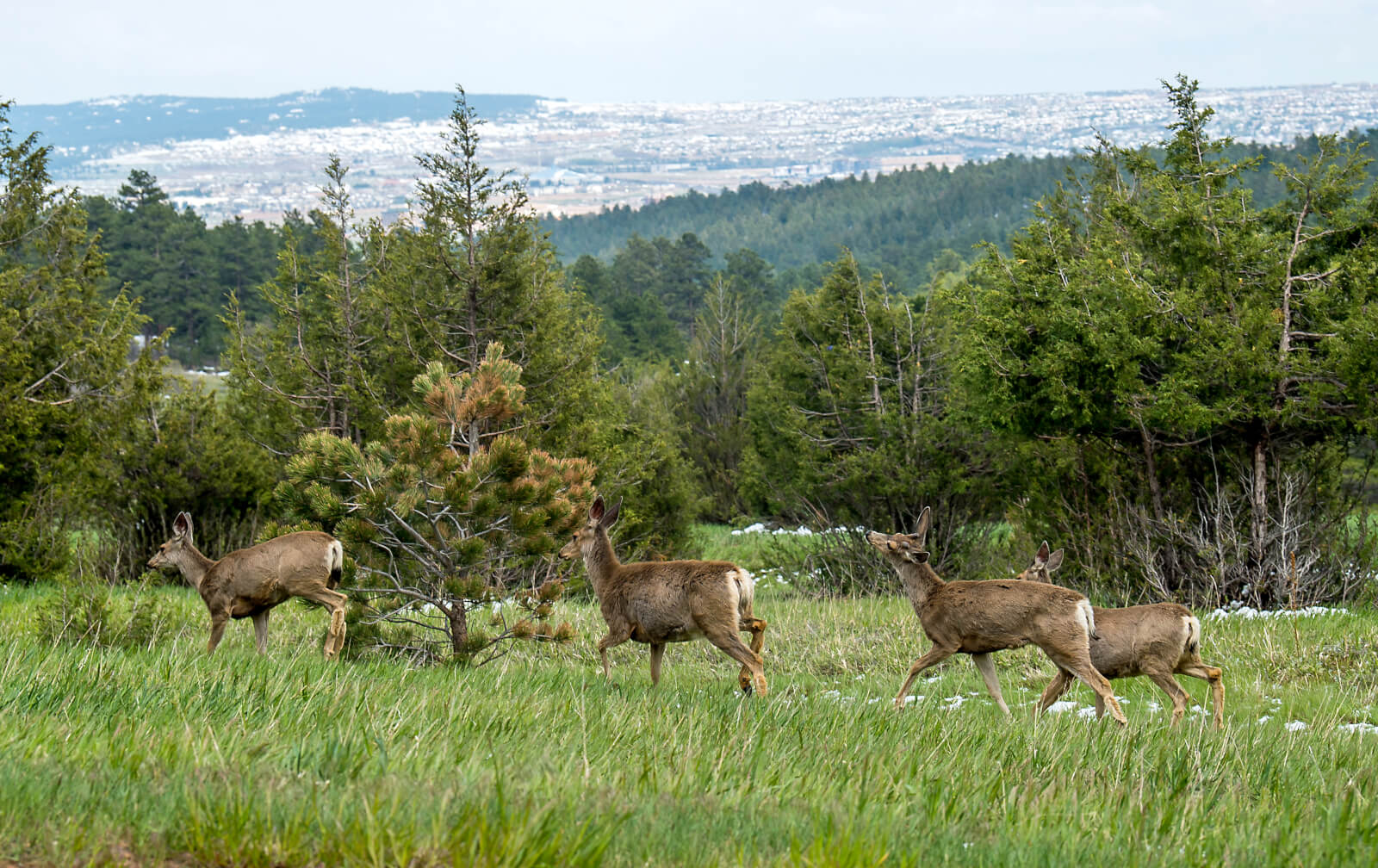 Group of deer on US Air Force Academy