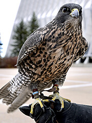 Photo of Ace, a falcon at the U.S. Air Force Academy