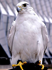 Photo of Aurora, a falcon at the U.S. Air Force Academy