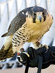 Photo of Karena, a falcon at the U.S. Air Force Academy