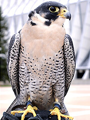 Photo of Oblio, a falcon at the U.S. Air Force Academy